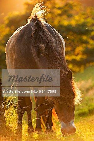 Exmoor pony grazing in the evening summer sunshine at Valley of Rocks, Exmoor, Devon, England, United Kingdom, Europe