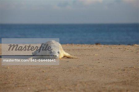 Seal pup sur la plage de Winterton, Norfolk, Angleterre, Royaume-Uni, Europe