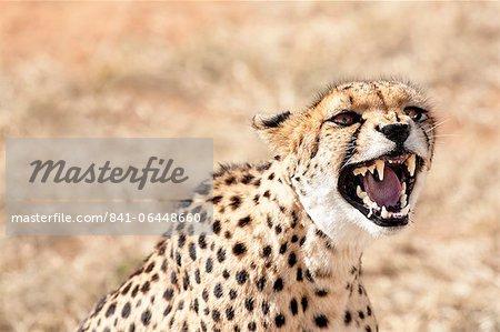 Snarling cheetah (Acynonix jubatus) showing teeth, Kalahari plains, Namibia, Africa