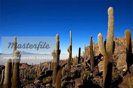 Cacti on Isla de los Pescadores and the salt flats of Salar de Uyuni, Southwest Highlands, Bolivia, South America
