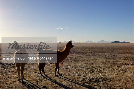 Llama and alpaca on salt flats, Salar de Uyuni, Southwest Highlands, Bolivia, South America