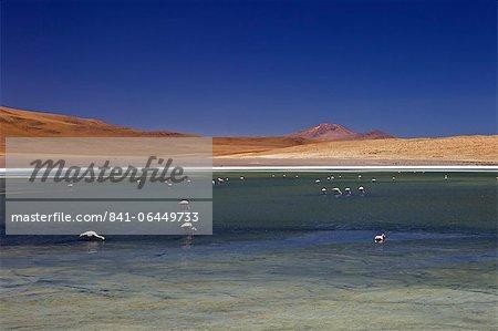 Flamingos on Laguna Canapa, South Lipez, Southwest Highlands, Bolivia, South America