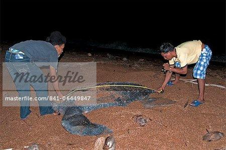 Chercheurs de mesurer une femelle tortue-luth (Dermochelys coriacea) à son nid site, Shell Beach, au Guyana, en Amérique du Sud