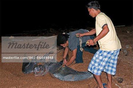 Appliquer une étiquette à une tortue luth (Dermochelys coriacea) à sa nidification site, Shell Beach, au Guyana, en Amérique du Sud