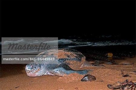 Femelle tortue luth (Dermochelys coriacea) retour à la mer après la ponte des œufs, Shell Beach, au Guyana, en Amérique du Sud