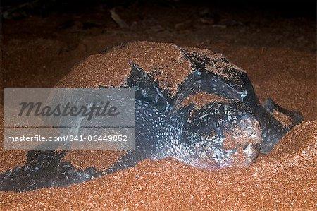 Vue frontale de la femelle tortue luth (Dermochelys coriacea) couvert de sable de la fouille de l'orifice du nid, Shell Beach, Guyane, Amérique du Sud