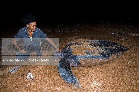Garde de tortue avec nidification tortue luth (Dermochelys coriacea), Shell Beach, au Guyana, en Amérique du Sud
