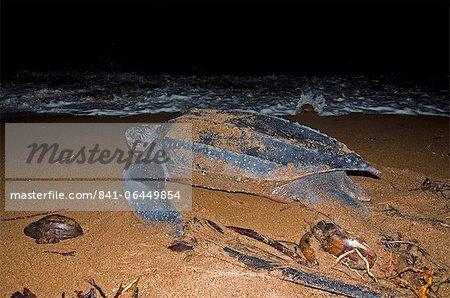 Tortue luth (Dermochelys coriacea) retour à la mer, ayant mis une couvée d'oeufs, Shell Beach, au Guyana, en Amérique du Sud