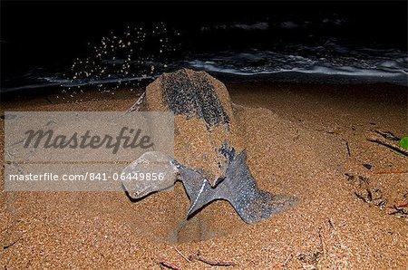 Leatherback turtle (Dermochelys coriacea) excavating a nest hole, Shell Beach, Guyana, South America