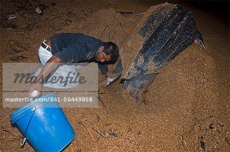 Oeufs de tortue (Dermochelys coriacea) luth sont recueillis pour le transfert d'un plus sûr écloserie emplacement, Shell Beach, au Guyana, en Amérique du Sud