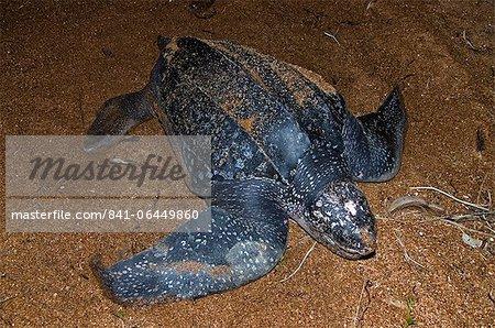 Tortue luth (Dermochelys coriacea) au nid site, Shell Beach, au Guyana, en Amérique du Sud