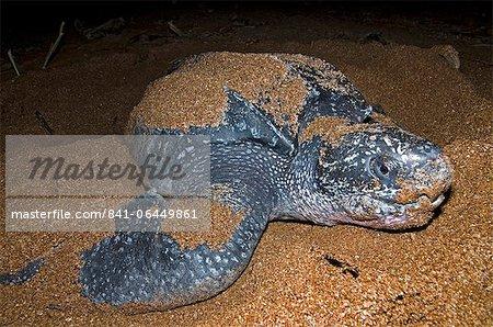 Vue frontale d'une imbrication de tortue luth (Dermochelys coriacea), Shell Beach, au Guyana, en Amérique du Sud