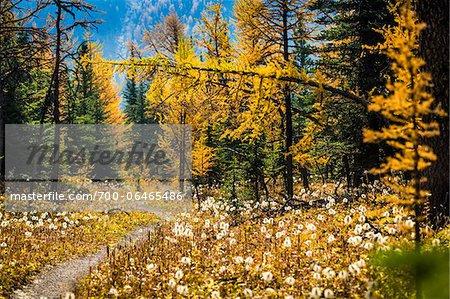 Rock Isle Trail Through Autumn Larch, Sunshine Meadows, Mount Assiniboine Provincial Park, British Columbia, Canada