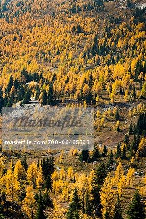 Overview of Mountainside Autumn Larch, Rock Isle Trail, Sunshine Meadows, Mount Assiniboine Provincial Park, British Columbia, Canada