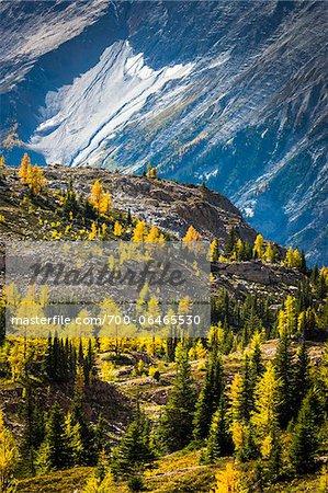 Mountainside Autumn Larch, Lake McArthur Trail, Yoho National Park, British Columbia, Canada