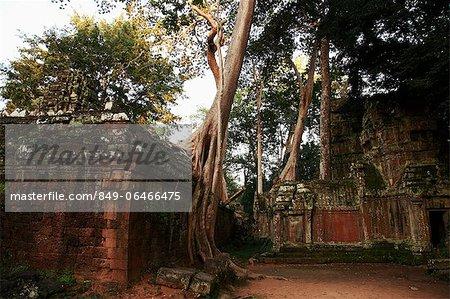 Silk cotton trees growing around Ta Prohm Temple, Angkor Wat,  Cambodia