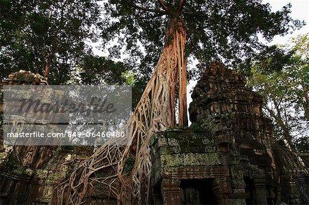 Trees growing around the ruins of Angkor Wat, Cambodia