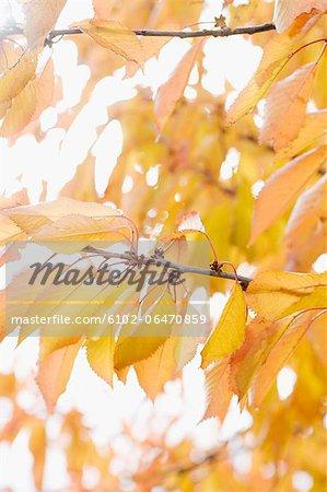 Cherry tree twigs at autumn