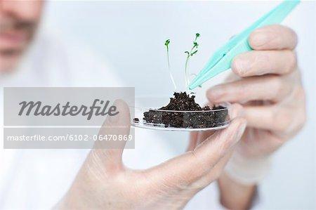 Scientist lifting seedling with tweezers