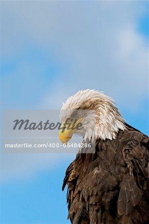 The Bald Eagle (Haliaeetus leucocephalus), a bird of prey found in North America.