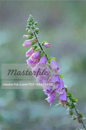 Common Foxglove (Digitalis purpurea)