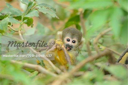 Common Squirrel Monkey (Saimiri sciureus) in Tree