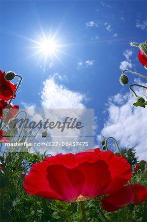 Poppy flowers and blue sky
