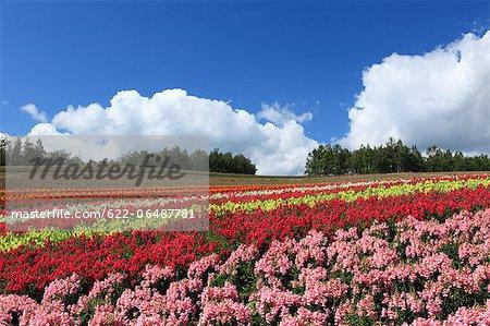Flower field and blue sky with clouds, Hokkaido