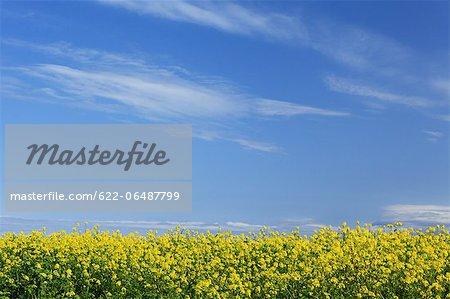 Field mustard flowers and blue sky with clouds, Hokkaido