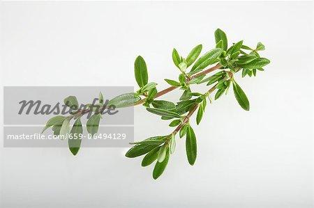 Winter savory (Satureja montana)