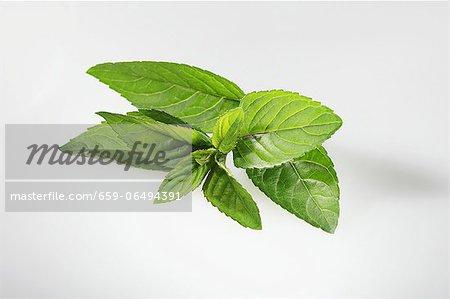 Chocolate mint (Mentha  piperita var. piperita)