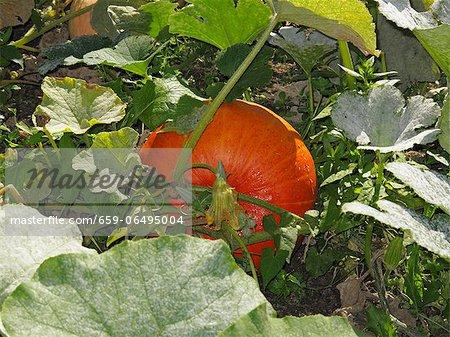 A pumpkin growing in a garden