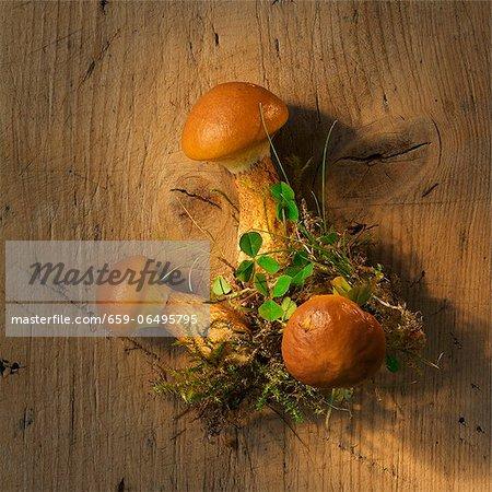 Larch bolete mushrooms on a wooden surface