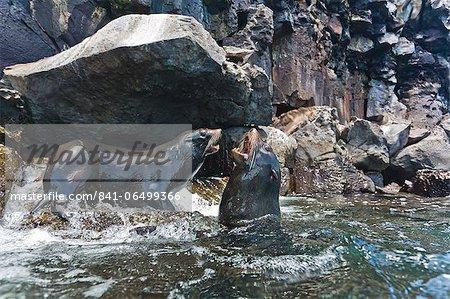 Galapagos fur seal (Arctocephalus galapagoensis) bulls mock-fighting, Genovesa Island, Galapagos Islands, Ecuador, South America