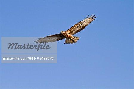 Galapagos hawk (Buteo galapagoensis), Espanola Island, Galapagos Islands, Ecuador, South America
