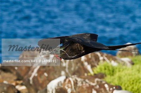 Adult male magnificent frigatebird (Fregata magnificens), Las Bachas, Santa Cruz Island, Galapagos Islands, Ecuador, South America