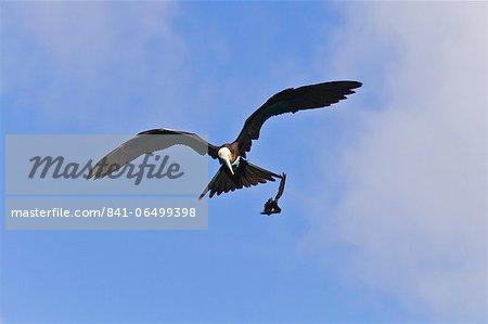 Juvenile magnificent frigatebird (Fregata magnificens) attacking an Elliot's storm petrel (Oceanites gracilis galapagoensis), Punta Pitt, San Cristobal Island, Galapagos Islands, Ecuador, South America