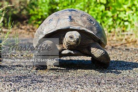 Wild Galapagos tortoise (Geochelone elephantopus), Urbina Bay, Isabela Island, Galapagos Islands, UNESCO World Heritage Site, Ecuador, South America