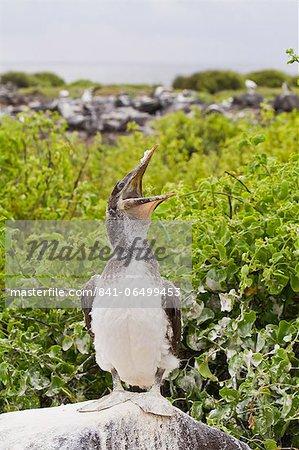 Nazca booby (Sula grantii) chick, Punta Suarez, Santiago Island, Galapagos Islands, Ecuador, South America