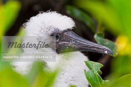Red-footed booby (Sula sula) chick, Genovesa Island,  Galapagos Islands, Ecuador, South America