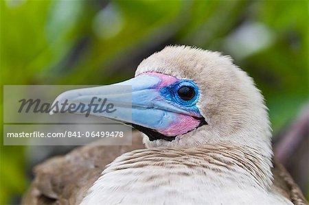 Adult dark morph red-footed booby (Sula sula), Genovesa Island, Galapagos Islands, Ecuador, South America