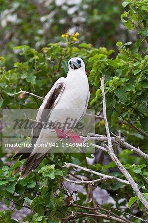 Adult white morph red-footed booby (Sula sula), Genovesa Island, Galapagos Islands, Ecuador, South America