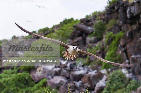 Adult dark morph red-footed booby (Sula sula) in flight, Genovesa Island, Galapagos Islands, Ecuador, South America.