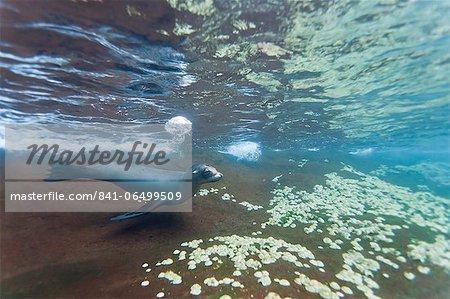 Galapagos sea lion (Zalophus wollebaeki) underwater, Guy Fawkes Islands, Galapagos Islands, Ecuador, South America