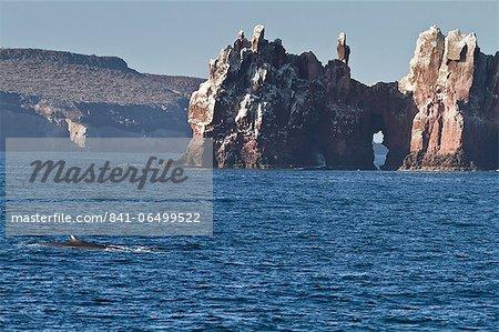 Adult fin whale (Balaenoptera physalus), Los Islotes, Gulf of California (Sea of Cortez), Baja California Sur, Mexico, North America