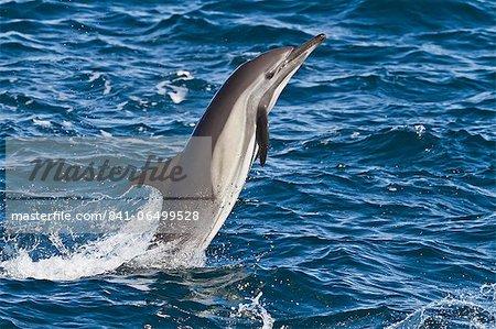 Long-beaked common dolphin (Delphinus capensis), Isla San Esteban, Gulf of California (Sea of Cortez), Baja California, Mexico, North America
