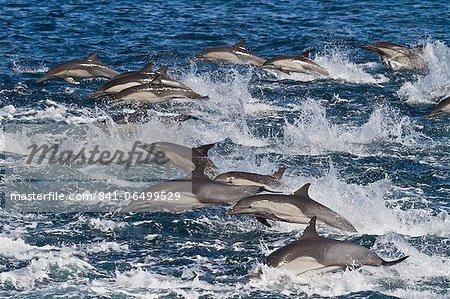 Long-beaked common dolphin (Delphinus capensis) pod, Isla San Esteban, Gulf of California (Sea of Cortez), Baja California, Mexico, North America