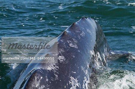 California gray whale (Eschrichtius robustus) caudal peduncle, San Ignacio Lagoon, Baja California Sur, Mexico, North America