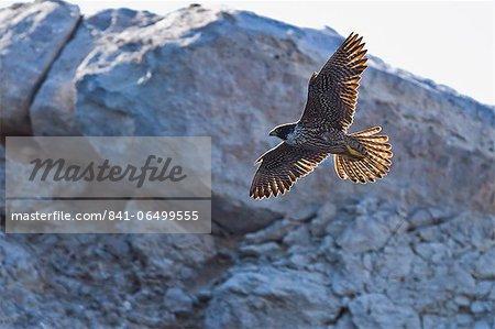 Adult peregrine falcon (Falco peregrinus), Isla Rasa, Gulf of California (Sea of Cortez), Baja California, Mexico, North America