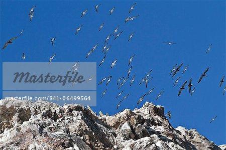 Wheeling birds, Isla San Pedro Martir, Gulf of California (Sea of Cortez), Baja California, Mexico, North America